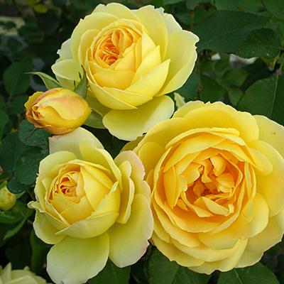 相原バラ園 黄色